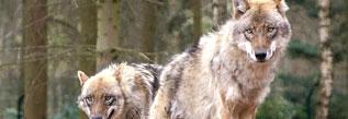 Wolfsmonitoring